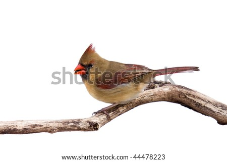 portrait of female cardinal preparing for takeoff with sunflower seed in her mouth; white background - stock photo