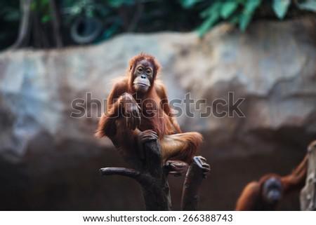 Portrait of female orangutan in the Leipzig Zoo - stock photo