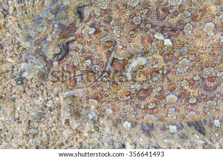 Portrait of flatfish called a Leopard flounder, Pantherbutt (Bothus pantherinus) lies flat on the bottom of the tropical waters. - stock photo