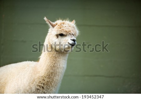 Portrait of Fluffy young Alpaca (Vicugna pacos) - stock photo