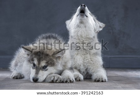 Portrait of four-month old alaskan malamute puppys closeup in studio - stock photo