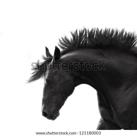 portrait of freedom breed stallion isolated on white - stock photo