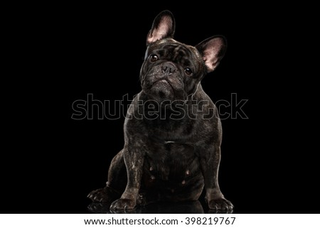 Portrait of French Bulldog Dog Sitting and Curiously Looking in Camera, Front view,  Isolated on black background - stock photo
