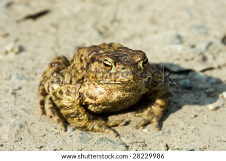 Portrait of frogs sitting on the ground - stock photo