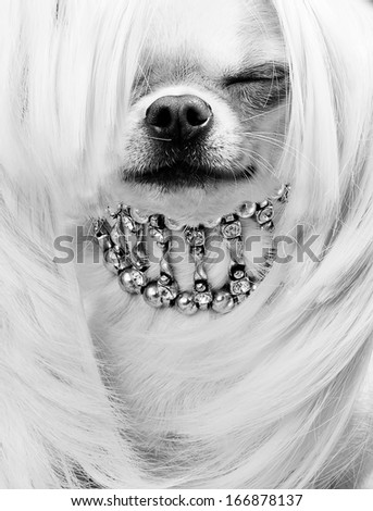 portrait of funny chihuahua dog - stock photo