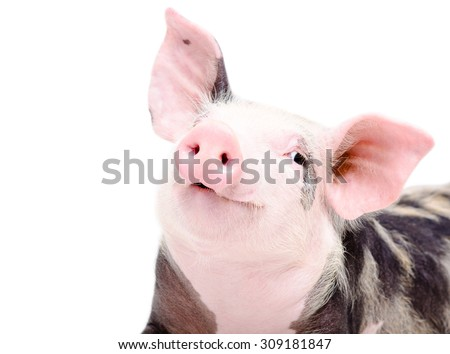 Portrait of funny cute piglet, closeup, isolated on a white background - stock photo