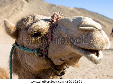 Portrait of funny egypt camel - stock photo