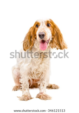 Portrait of funny Russian Spaniel isolated on a white background - stock photo