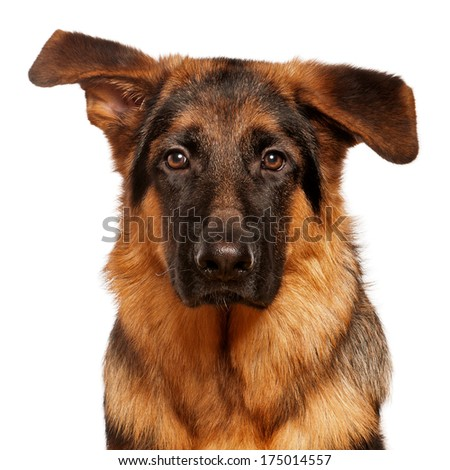 Portrait of German Shepherd puppy, 5 months old - stock photo