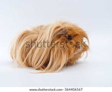 Portrait of ginger guinea pig. Studio photography on a light gray (white) background. - stock photo