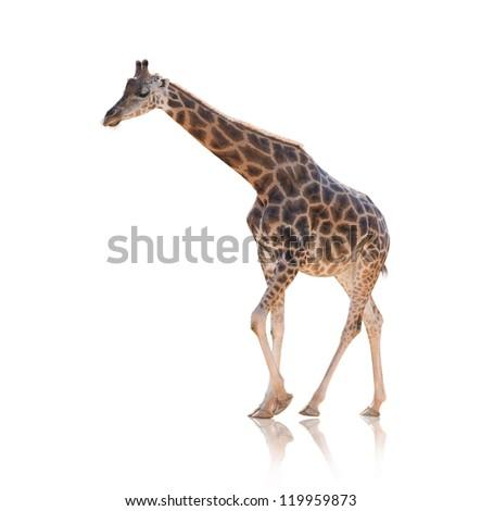 Portrait Of Giraffe Walking Isolated On White Background - stock photo