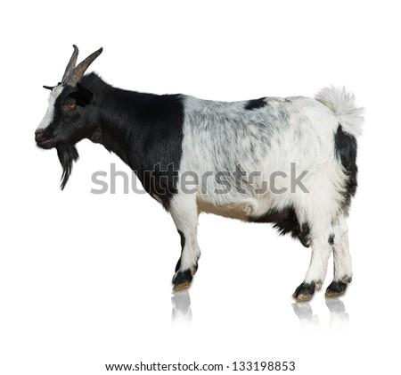 Portrait Of Goat Isolated On White Background - stock photo