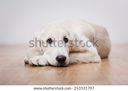 Portrait of golden retriever puppy sitting on the flour at room - stock photo
