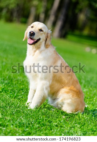 Portrait of golden retriever sitting on the green grass - stock photo
