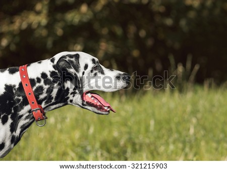 Portrait of gorgeous Dalmatian breed dog for a walk in nature, standing and looking away with his tongue out - stock photo