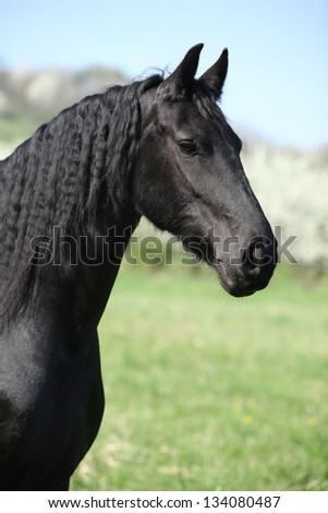 Portrait of gorgeous friesian mare in front of flowering trees - stock photo
