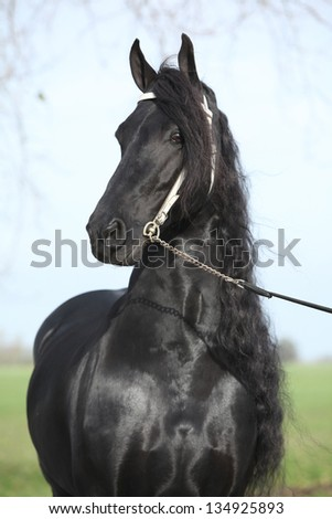Portrait of gorgeous friesian stallion with perfect long hair and white bridle - stock photo