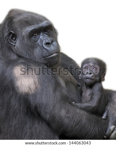 Portrait of gorilla-mother with her baby, isolated on white background - stock photo