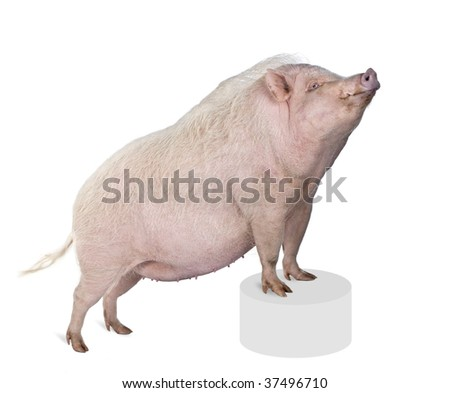 Portrait of Gottingen minipig standing on pedestal against white background, studio shot - stock photo