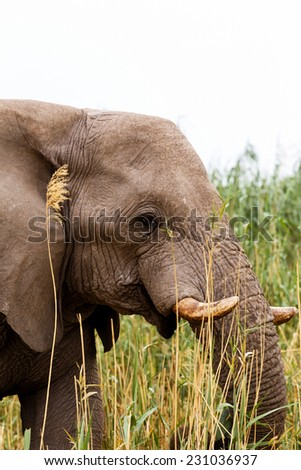 Portrait of grazing African Elephant in in Etosha national Park, Ombika, Kunene, Namibia. True wildlife photography - stock photo