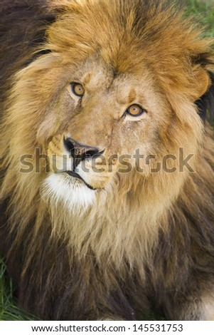 Portrait of great african lion  - stock photo