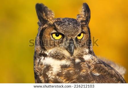 Portrait of Great horned owl (Bubo virginianus)  - stock photo