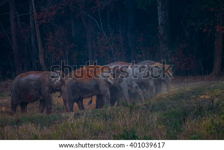Portrait of group of Wild elephants (Elephas maximus) eating salt lick in real nature in the evening at Khaoyai national park, Thailand - stock photo