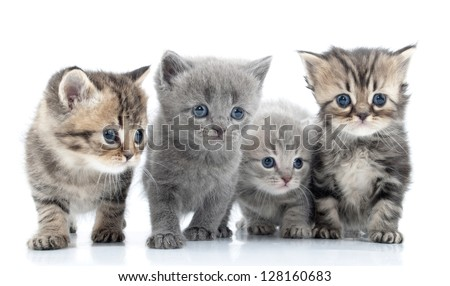 Portrait of group of young Scottish cats . Studio shot. Isolated. - stock photo