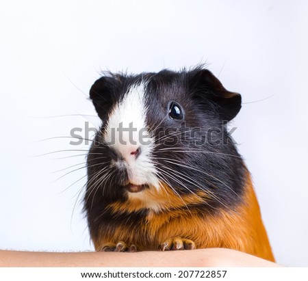 portrait of guinea pig stay on feet and hod on hand - stock photo