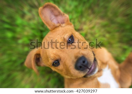 Portrait of happy smile young american stafford terrier in green grass.  - stock photo