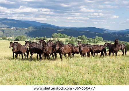 Portrait of herd black kladrubian horses - stock photo