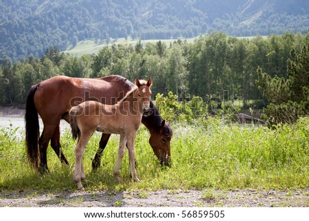 Portrait of horse with foal against mountains. Mountain Altai - stock photo
