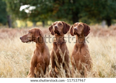 Portrait of Hungarian Vizsla dogs sitting in long fall grass - stock photo