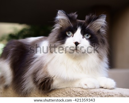 Portrait of Intelligent Regal Long Haired Bi-Color Brown White Blue Eyed Ragdoll Cat with a black button nose and Long Whiskers Sitting on Ledge - stock photo