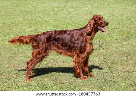 Portrait of Irish setter on a green grass lawn - stock photo