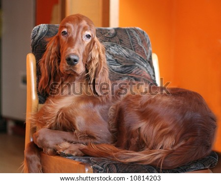 Portrait of irish setter on the chair - stock photo