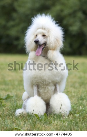 Portrait of king white poodle dog in seating position - stock photo