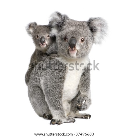 Portrait of Koala bears, 4 years old and 9 months old, Phascolarctos cinereus, in front of white background - stock photo