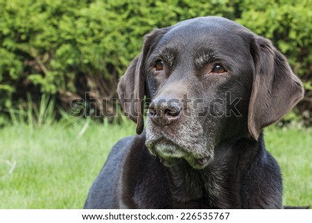 Portrait of Labrador retriever, close-up - stock photo