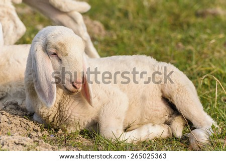 portrait of lamb that is lying in the meadow - stock photo