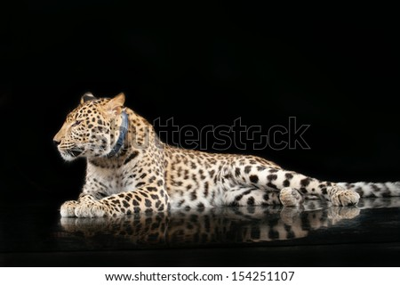 Portrait of large beautiful leopard on black background. - stock photo