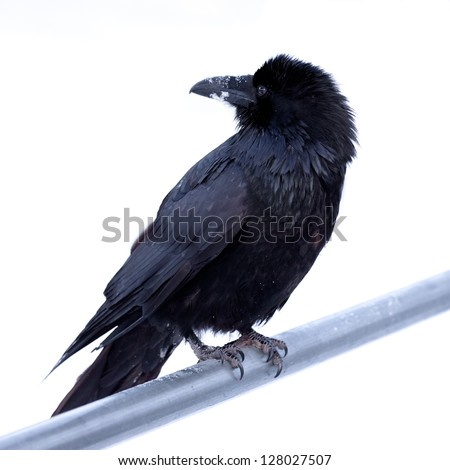 Portrait of large Common Raven  Corvus corax  perched on metal bar against a neutral white background - stock photo