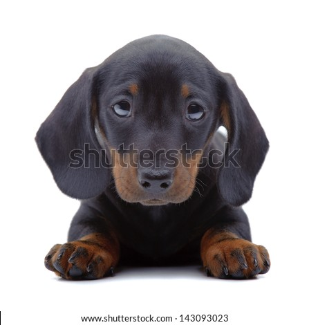 Portrait of laying puppy of Dachshund on white - stock photo