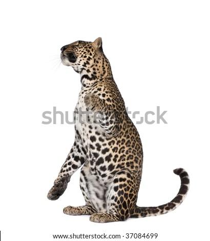 Portrait of leopard, Panthera pardus, sitting against white background, studio shot - stock photo