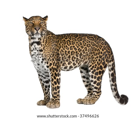 Portrait of leopard, Panthera pardus, standing against white background, studio shot - stock photo