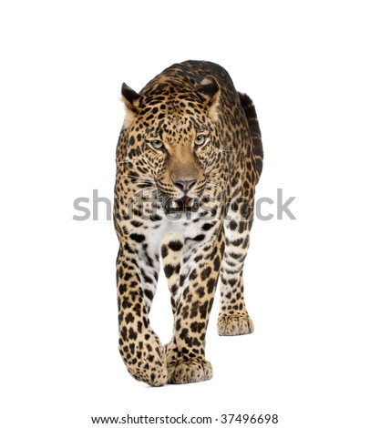 Portrait of leopard walking and snarling, Panthera pardus, against white background, studio shot - stock photo
