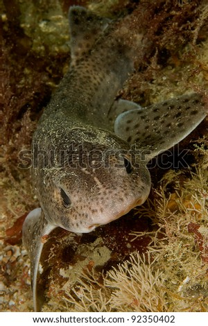 Portrait of lesser spotted dogfish - stock photo
