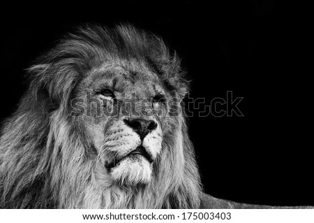 Portrait of Lion in black and white - stock photo