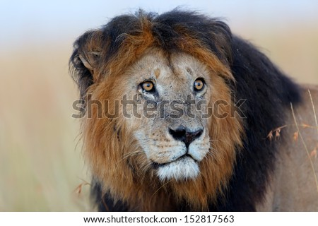 Portrait of Lion Notch the most famous lion in the Masai Mara - stock photo
