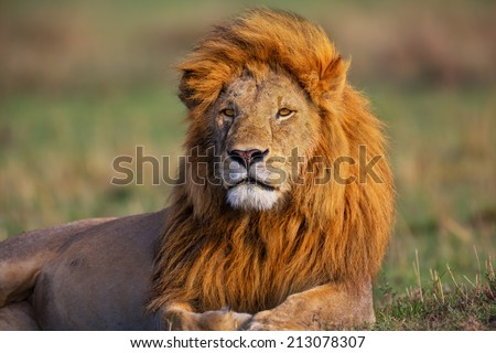 Portrait of Lion Romeo 2 enjoying the first rays of sun in Masai Mara, Kenya - stock photo